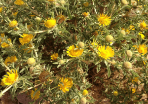 Tac Dung Artemisia Herba Alba